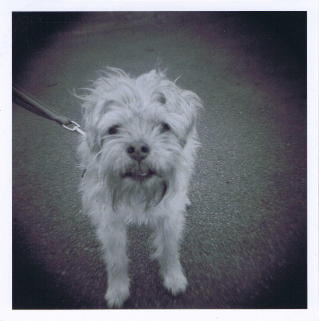 Solo - A Border Terrier